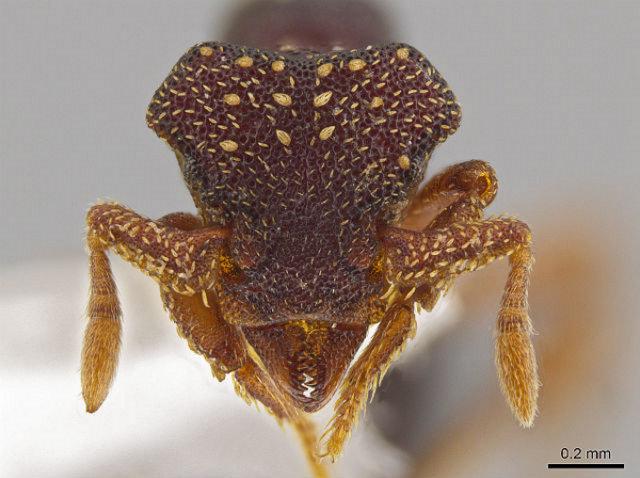Мравките от вида Eurhopalothrix zipacna носят името на древен демон крокодил от митологията на маите.© John T. Longino, University of Utah