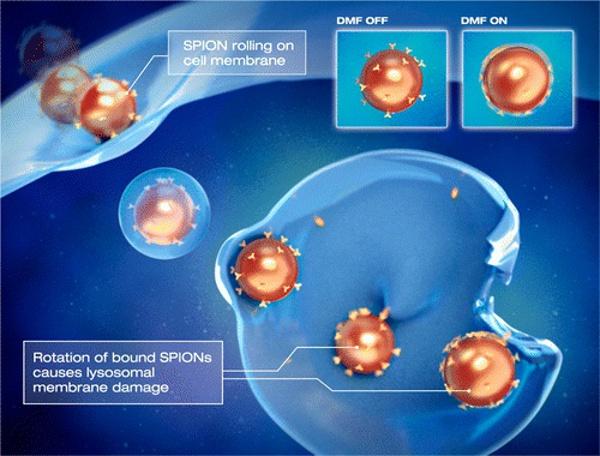 Наночастици разрушават лизозомата в раковата клетка със своето въртене. DMF – динамично магнитно поле. SPION – суперпарамагнитни наночастици от железен оксид.© Илюстрация: авторите на изследването