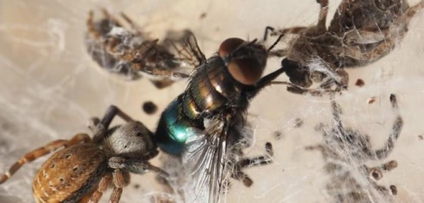 """Геномът на кадифения паяк вече е """"картографиран"""". Изображението показва социалните кадифени паяци, които с общи усилия убиват плячката си.© Peter Gammelby, Aarhus University"""