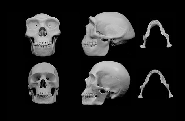 Череп и челюсти на съвременен и на древен човек.© University of Utah Health Sciences
