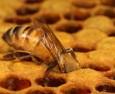 Медът е по-ефективен от антибиотиците