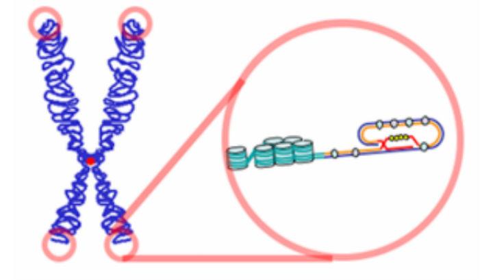 От дължината на теломера зависи продължителността на живота.© Wikimedia Commons