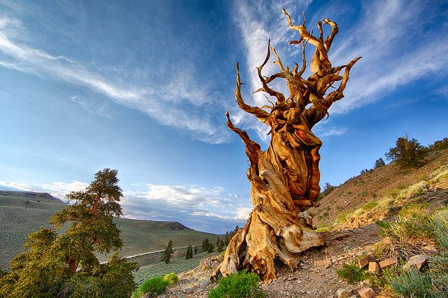 Матусал на 4845 години в Белите планини, Калифорния.© Chao Yen
