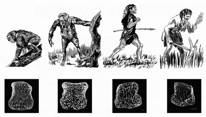 Плътността на човешките кости на различни етапи от еволюцията.