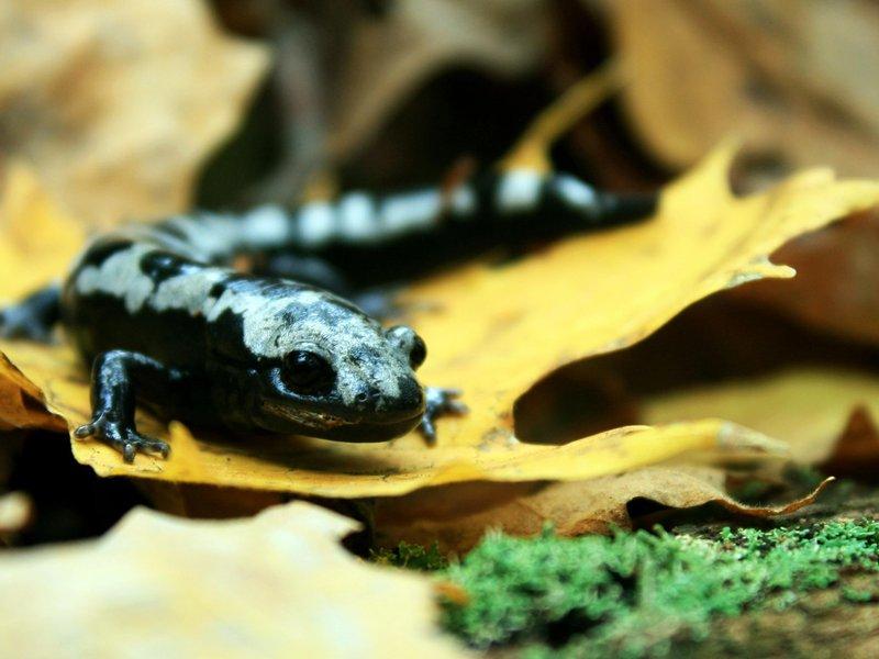 Мраморният саламандър увеличава разпространението и обхвата си в отговор на високите зимни температури. (Mark Urban)