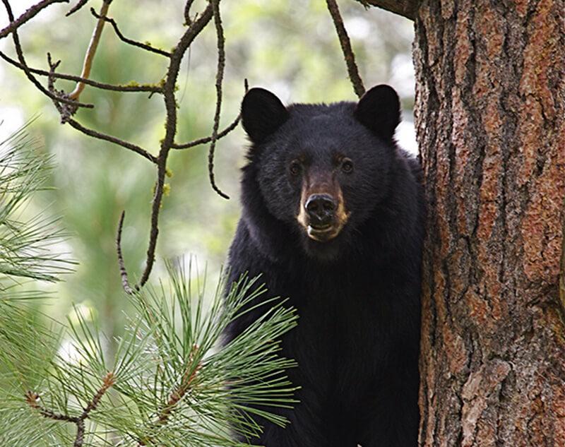 мечка, черна мечка