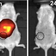 Само след два часа наночастиците се събрали около раковите клетки и успели да унищожат тумора само за по-малко от ден. © American Chemical Society