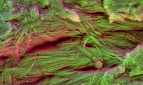 Фибри на колаген, открити по ребрата на неидентифициран динозавър. © Sergio Bertazzo
