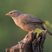 Turdoides caudata са първите животни, които са развили език, изпълнен със смисъл. ©Wikipedia