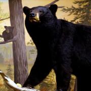 © North American Bear Center