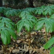 Американският родственик на хималайското растение. Wikipedia