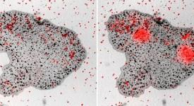 Трикоплакс - просто животно, без органи. Храни се с микроскопични водорасли (червените петна). Carolyn Smith