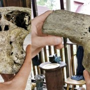 Странен череп са съхранявали нацистите в открития куфар. Съществото, на което е принадлежал, е имало големи очи и ноздри, но няма отвор за уста. Снимка: Архив на експедицията