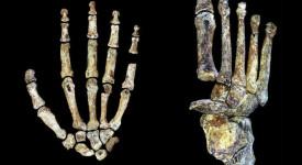 Китка и стъпало на Homo naledi, разкриващи уникалната му анатомия. © Peter Schmid and William Harcourt-Smith | Wits University