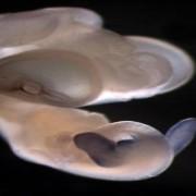 Проявяване на гена Tbx4 при ембрион на игуана (лилавото петно). Той отговаря за развитието на фалос/задни крака.  Carlos R. Infante