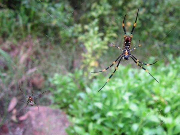 Тигров паяк. Schelle/Flickr