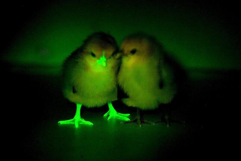 Флуоресциращи пиленца. Снимка The Roslin Institute / University of Edinburgh