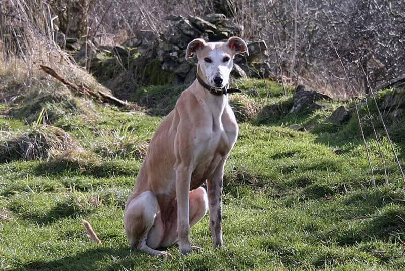 Мускулестото куче от породата грейхаунд на име Сали. carnivoraforum.com