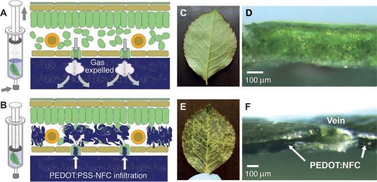 Така учените превърнали листо в природен течнокристален екран. © Laboratory of Organic Electronics