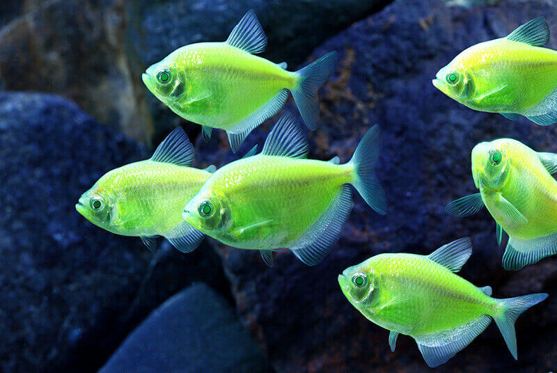 Флуоресцираща тернеция GloFish. Снимка: glofish.com