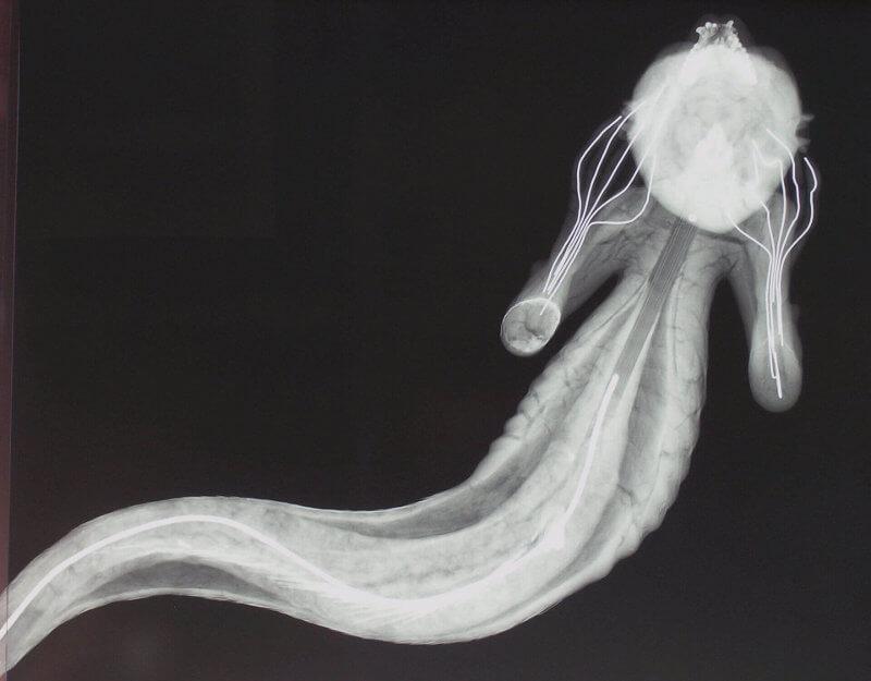 """Русалката"" под рентгенов апарат. © Horniman Museum & Gardens"
