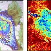 Снимка на клетката, получена от термомикроскопа на френските учени. © Bordeaux University