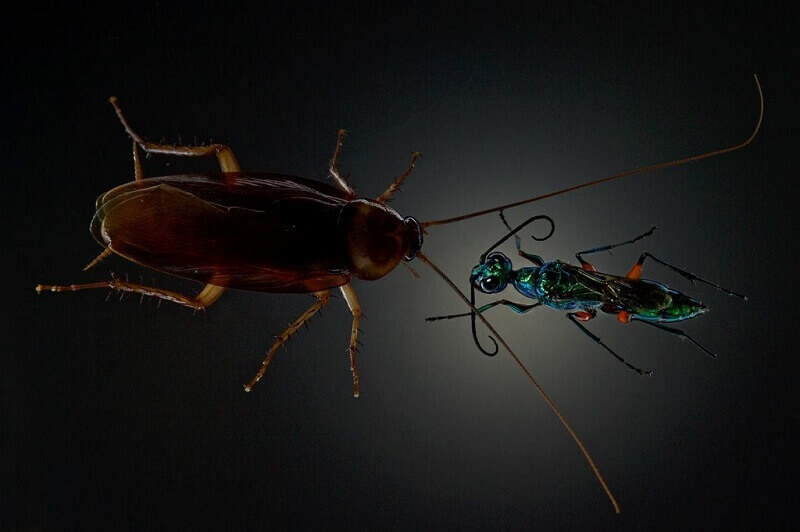 оса и хлебарка