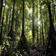 ходещите дървета