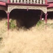 """""""космата паника"""", трева, слама, Австралия"""