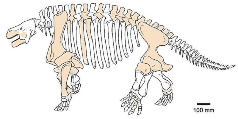 Скелет и челюсти на един от видовете парейазаври, открити в Китай. © Professor Mike Benton