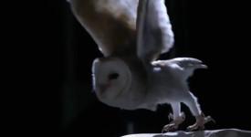 забулена сова