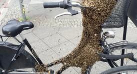 """Bienen haben sich am 28.05.2016 in Berlin an der Schönhauser Allee auf einem Fahrrad niedergelassen. Die herbeigerufene Polizei sperrte die Umgebung ab. Die Tiere wurden später von einem Imker wieder eingesammelt. Foto: Justus Demmer/dpa (zu dpa """"Berliner Polizei wegen Bienenvolk im Einsatz """" am 28.05.2016) +++(c) dpa - Bildfunk+++"""