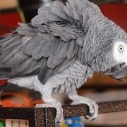 Африканските сиви папагали са изключително интелигентни птици.