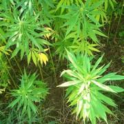 cannabis-614382_1280