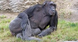 chimpanzee-871298_1280