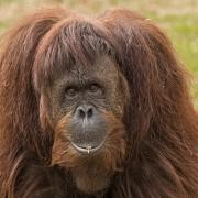 primate-455863_1280
