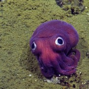 Googly Eyed Stubby Squid