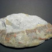 Фосилът е от вида Calamites gigas. Снимката е илюстративна.