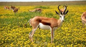 antelope-425161_1280