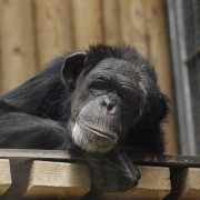 common-chimpanzee-842451_640