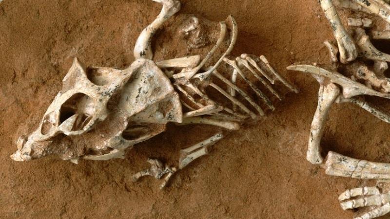 фосилизиран скелет на протоцераптор M. Ellison