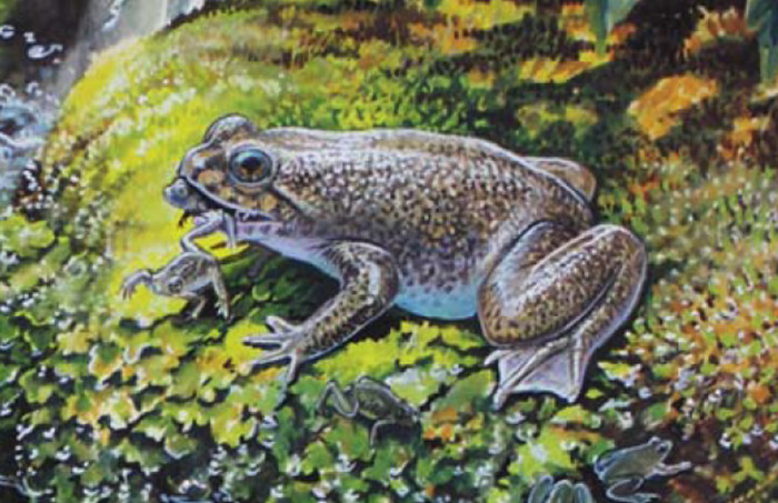 Southern_gastric_brooding_frog