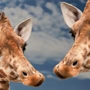 giraffe-613662_640