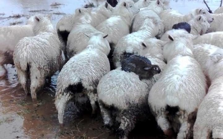 Два заека седят на гърба на овца, за да избегнат водата...