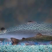 salmon-1200x600
