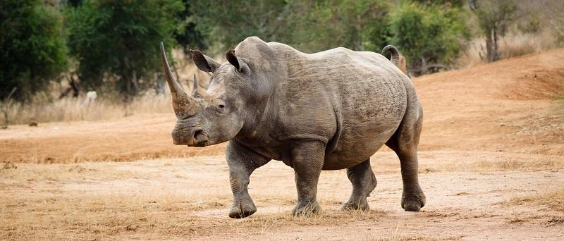 Носорог, Суазиленд. Creative Commons