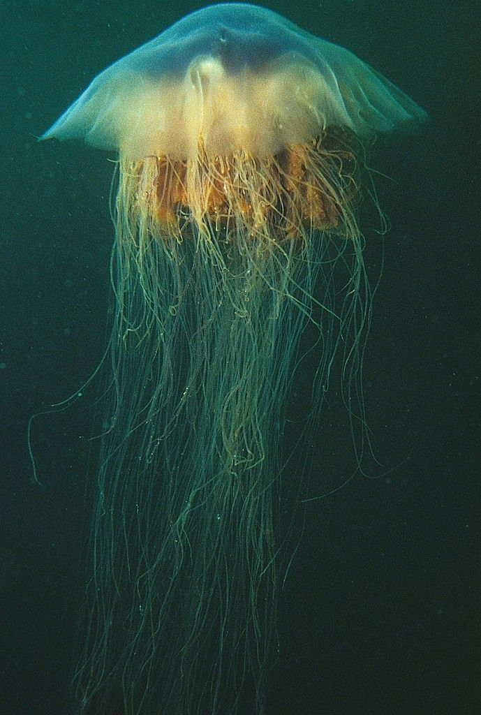 Lions_mane_jellyfish_or_hair_jelly_Cyanea_capillata_the_largest_know_jellyfish_in_Newfoundland_Canada._21390221575