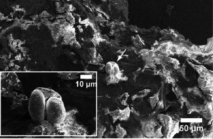 Изображение от електронен микроскоп на останките от храна по ръба на 6000 годишна паница. © Shevchenko et al. PLOS ONE. 28. Nov 2018 / MPI-CBG