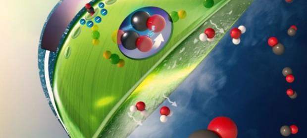 Изкуствения био- лист на UIC. Въглеродният диоксид (червени и черни топки) влиза в листата, тъй като водата (бели и червени топки) се изпарява от дъното на капсулата. Изкуствена фотосистема (лилавата част в центъра на листа), направена от светлинен абсорбер, покрит с катализатори, превръща въглеродния диоксид във въглероден оксид и превръща водата в кислород (показан като двойна червена топка), използвайки слънчева светлина.